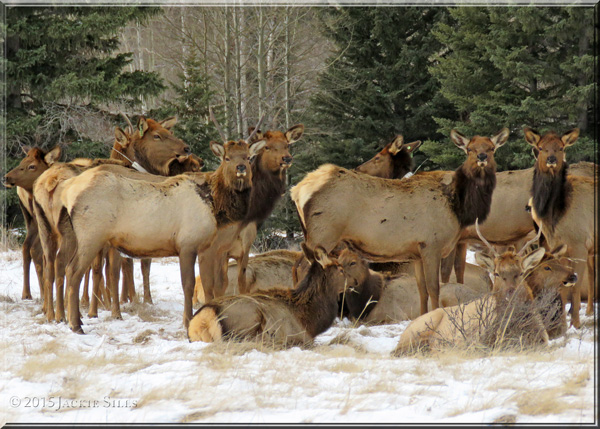 Elk Herd in Banff