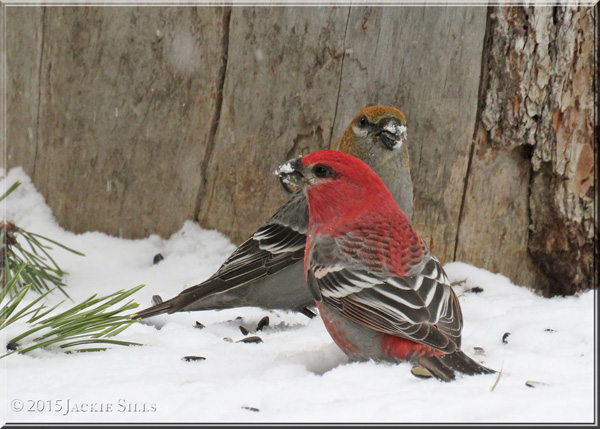 Pine Grosbeaks - Male and Female
