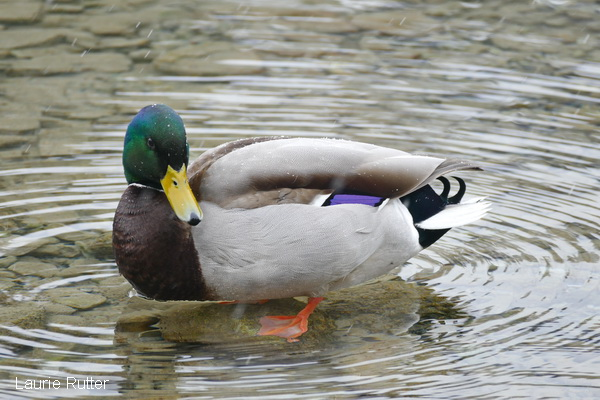 Photo of Mallard ducks in Canmore