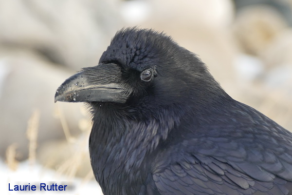 Raven in Canmore